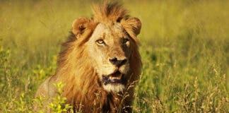 7 Lions Killed in Karoo National Park