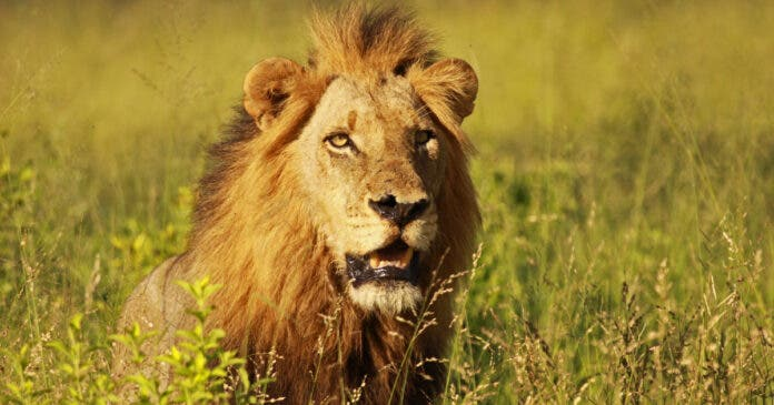 7 Lions Killed in Karoo National Park