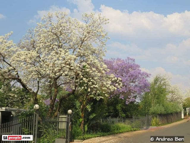 white jacaranda trees pretoria