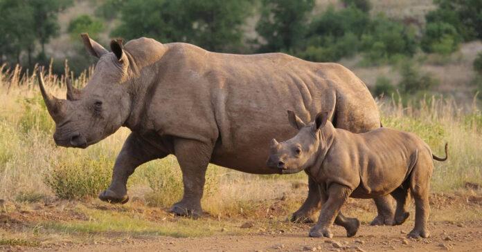 South Africa rhino poaching