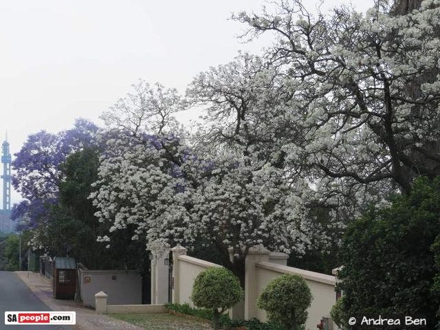white jacaranda trees south africa