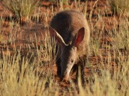 Disappearance of aardvarks from dry ecosystems could have devastating consequences for the many other animals that rely on their burrows. Kelsey Green