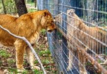 captive lion breeding south africa