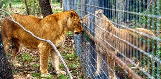 captive lion breeding south africa