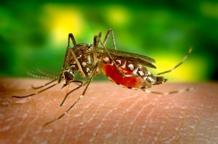 mosquito-malaria south africa pix