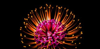 Protea flower photos like fireworks at Kirstenbosch South Africa