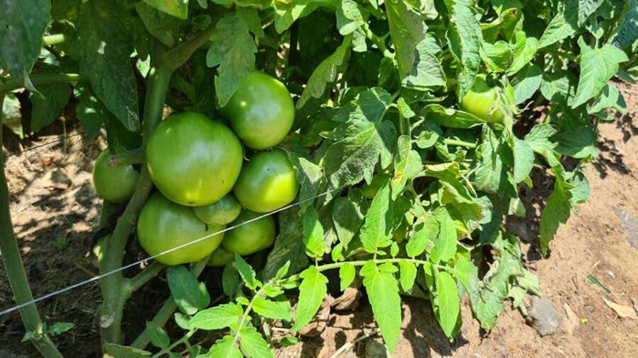 tomatoes elangeni green zone