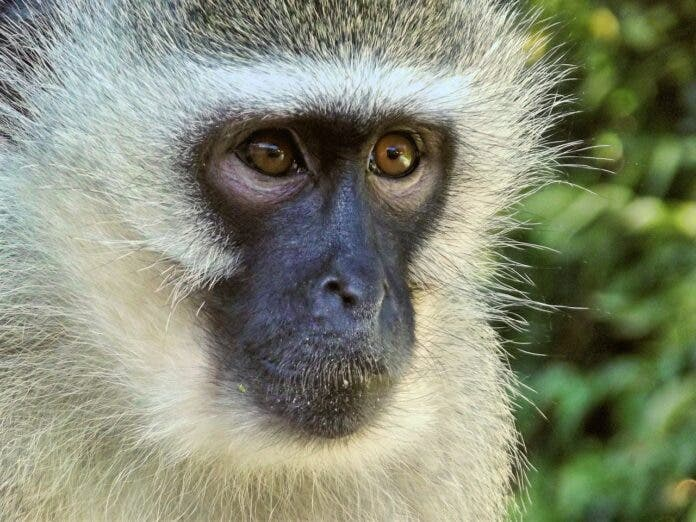 vervet monkey amputated by vet stock photo