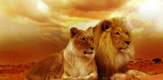 what-it-means-to-be-from-south-africa-lions