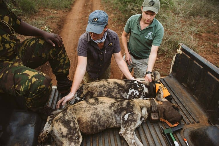 wild dog collaring south africa