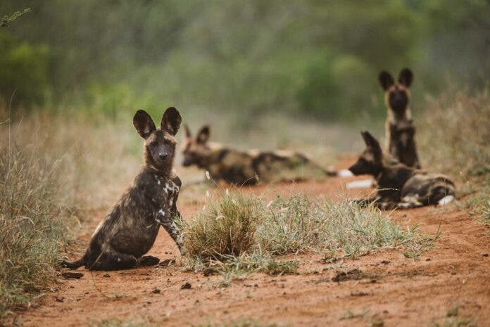 wild dog, painted dog collaring south africa