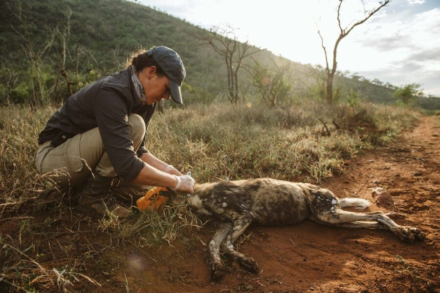 painted wild dog collaring south africa