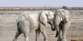 elephants namibia auction sale because of drought pi