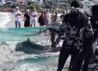 Shark caught in the Treknet, and released with love fish hoek beach south africa