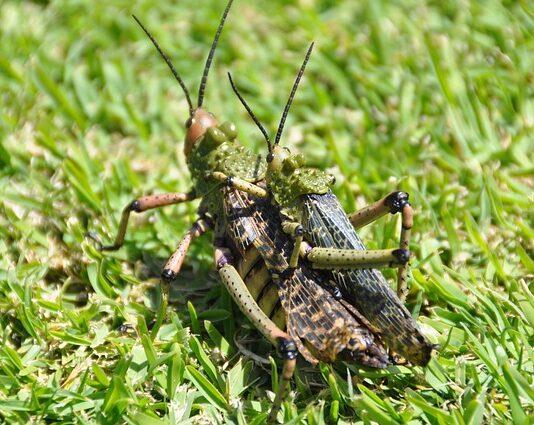 locusts outbreak