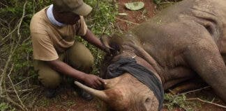 dr william fowlds vet removes splinter from rhino