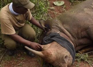 dr william fowlds vet removes splinter from rhino