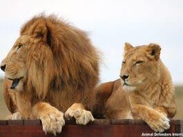 Rescued circus lions Tarzan and Tanya