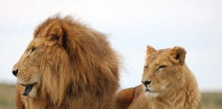 Rescued circus lions Tarzan and Tanya
