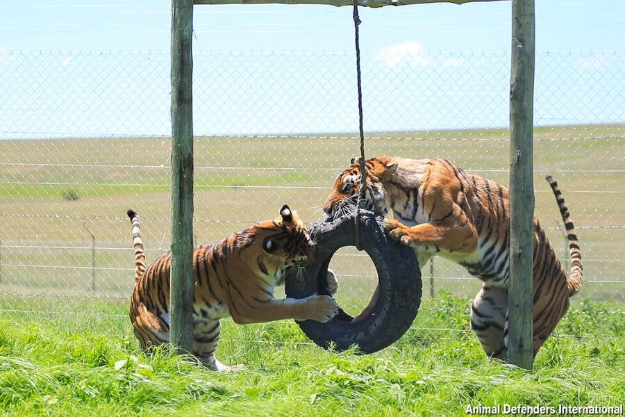 Rescued tigers Sasha and Kumal play tyre