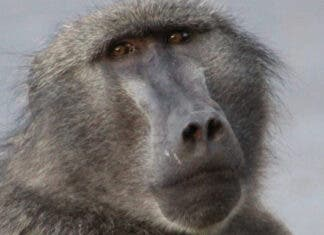 Cape Town's Famous Baboon Kataza May Be Relocated to Limpopo