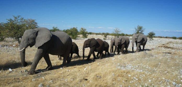 Namibia selling wild elephants Don-Pinnock