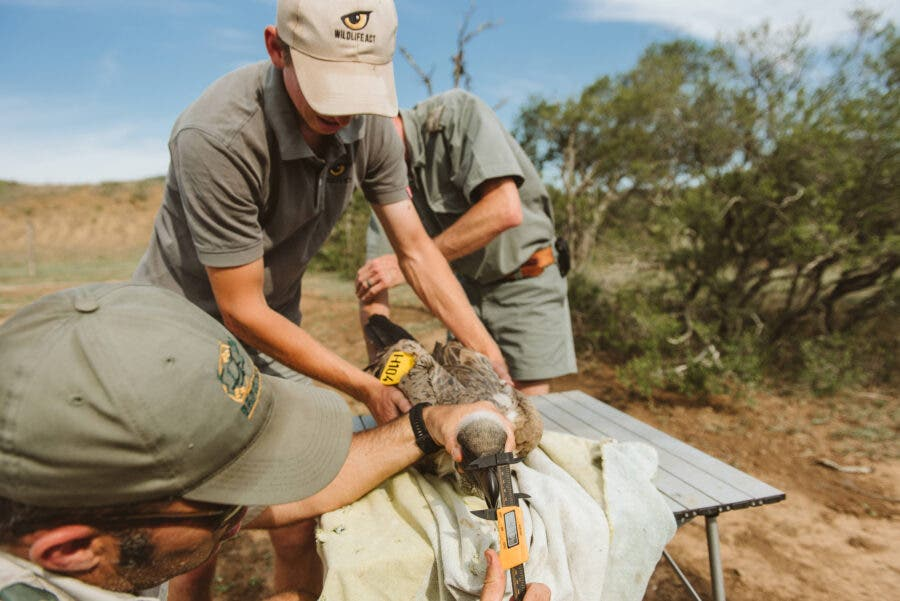 Vulture-tagging-process-by-Wildlife-ACT-and-Ezemvelo-KZN-Wildlife