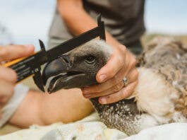 Critically Endangered Vulture Poisoned in Zululand