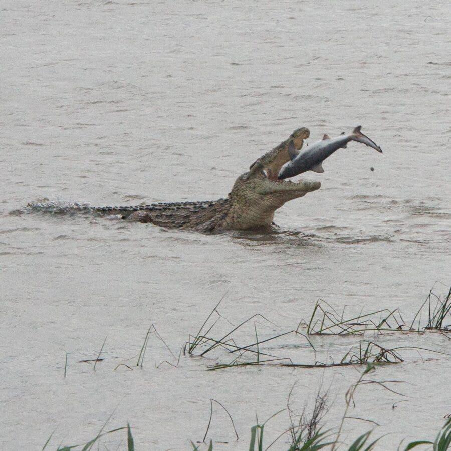 crocodile eats shark south africa st lucia estuary