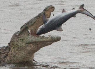crocodile eats shark south africa st lucia