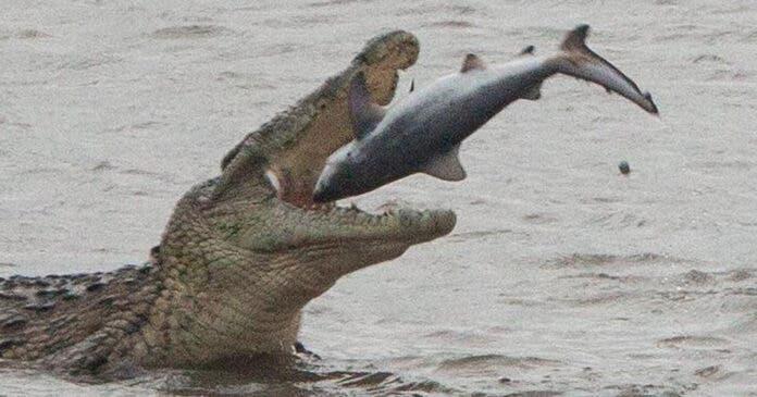 crocodile eats shark south africa st lucia