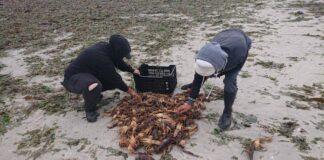 elands bay crayfish red tide