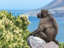 kataza baboon