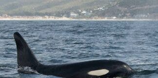 killer whale acoustic recording south africa