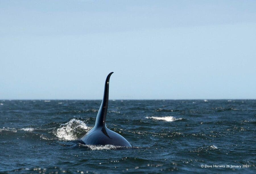 killer whale south africa