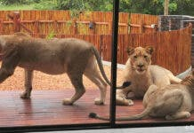 lions on the patio hoedspruit house
