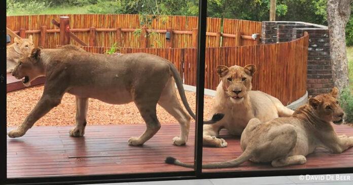 lions on the patio hoedspruit house