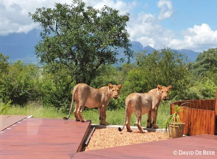 lions in garden south africa