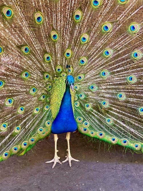World of Birds peacock