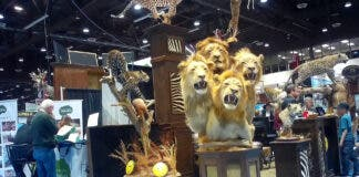 A four-lion taxidermy at the Safari Club International's 2020 annual convention in Reno, Nevada.