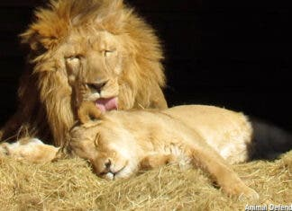Love Story of 2 Lions Who Survived the Circus