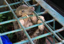 Banning wildlife in traditional medicines is the only way to save the pangolin, says World Animal Protection. Photos supplied.