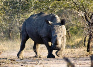 2020 Rhino Stats - South Africa's Dwindling Rhino Numbers Raise Huge Concerns For Its Future