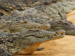 Crocodiles-escape-South-Africa Breede River