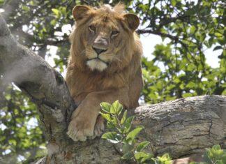 Lions Dead Poisoning Uganda