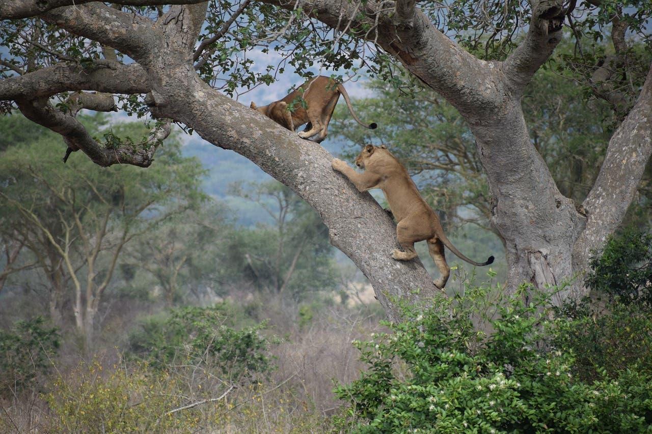 Uganda tree climbing lions poaching poisoned killed