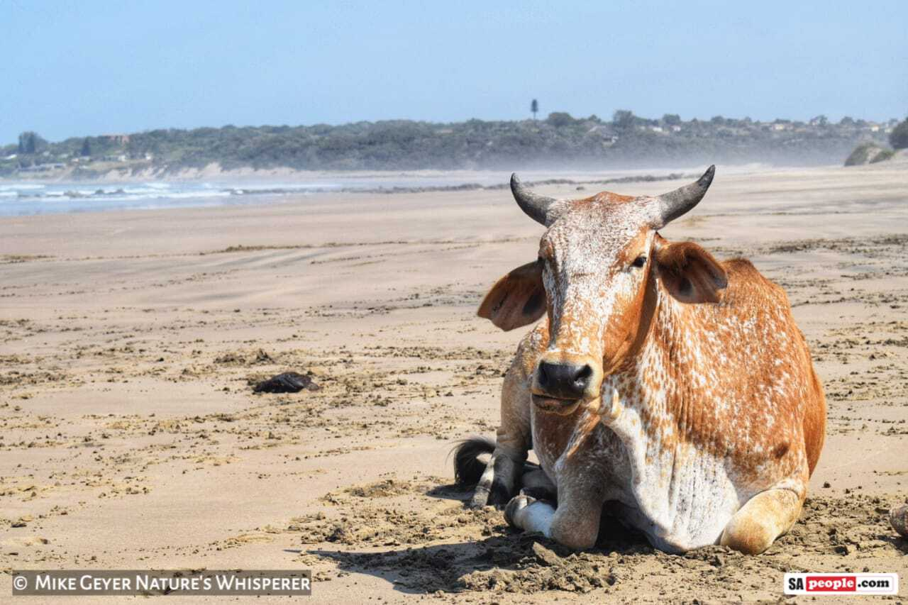 cows on beach South Africa