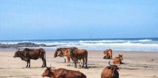cows on beach Wild Coast South Africa