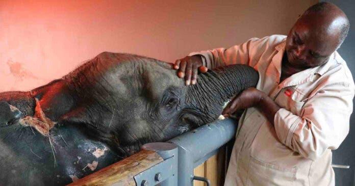 WATCH Heartbreaking Farewell to Baby Elephant Orphan Fenya