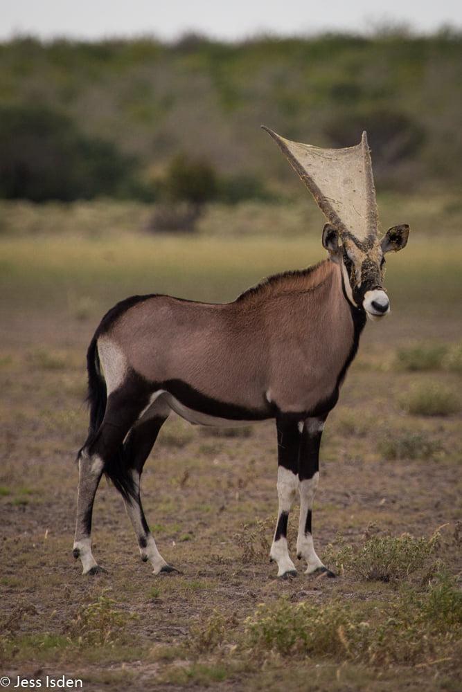 Gemsbok Horns with Spiderweb